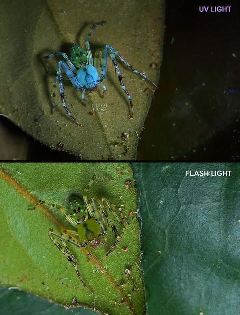 Crab spider (Epidius sp.)