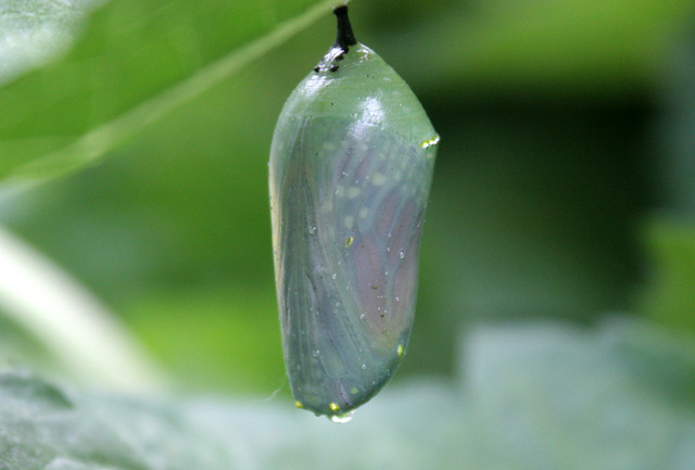 monarch chrysalis with a barely-visible wing