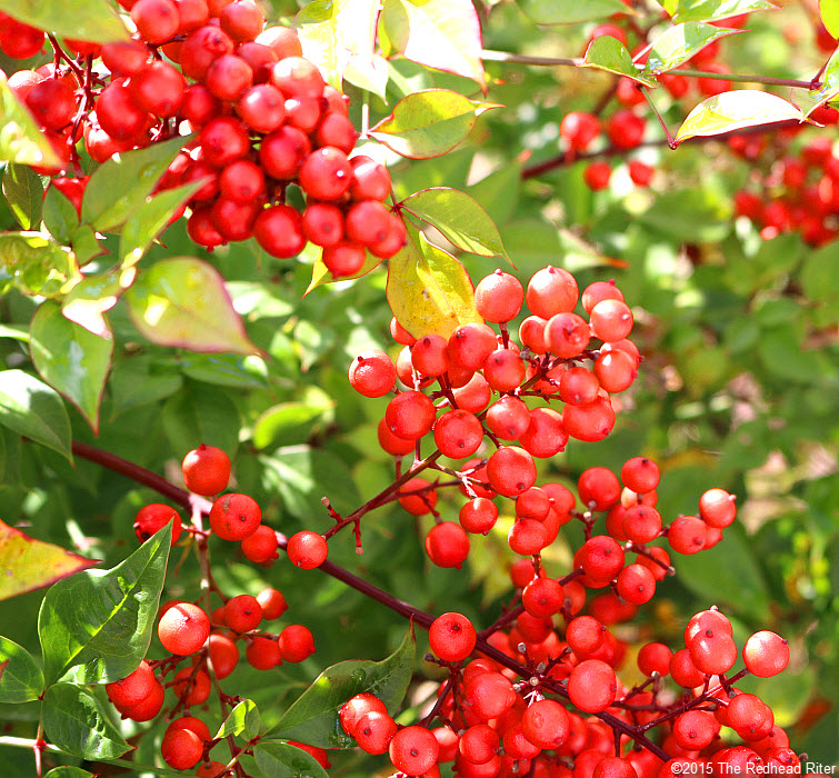 red berry bush Putting Positives Together