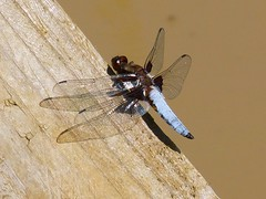 Interesting Dragonfly