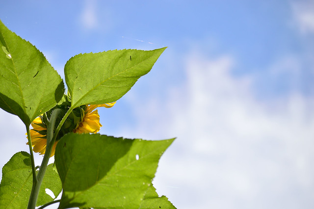 ヒマワリ Sunflower