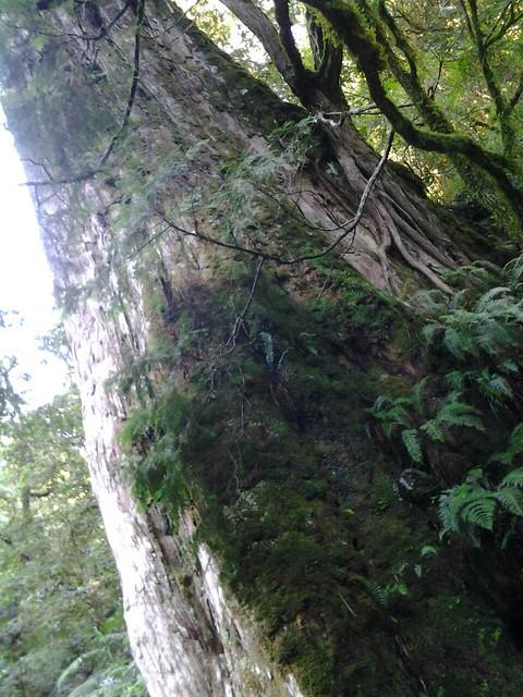 16067拉拉山巨木群