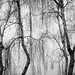Silver Birches in the Fog by PeteZab