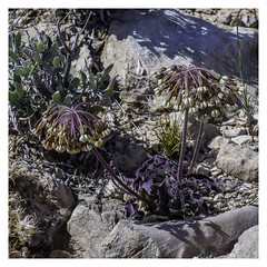 Asclepias scaposa (Stalked Milkweed)
