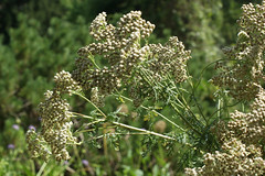 apiales(0.0), shrub(0.0), cow parsley(0.0), anthriscus(0.0), produce(0.0), food(0.0), flower(1.0), plant(1.0), herb(1.0), flora(1.0), angelica(1.0), meadowsweet(1.0),