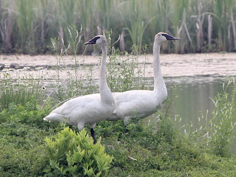 Фотография 'Лебедь-трубач'