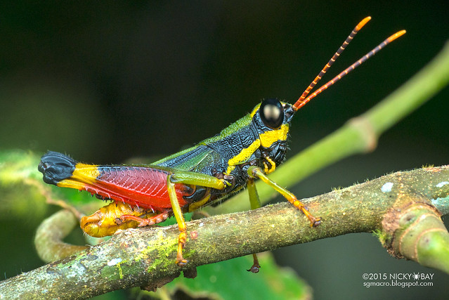 Grasshopper (Caelifera) - DSC_5376