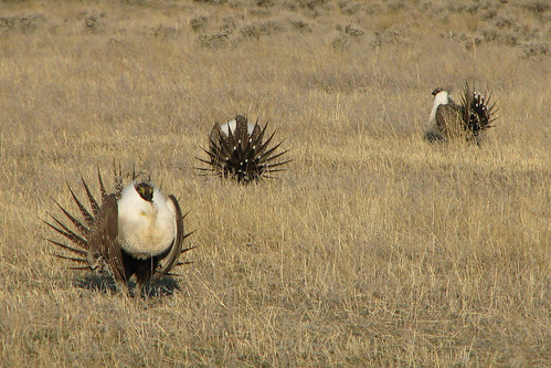 Sage grouse on a field