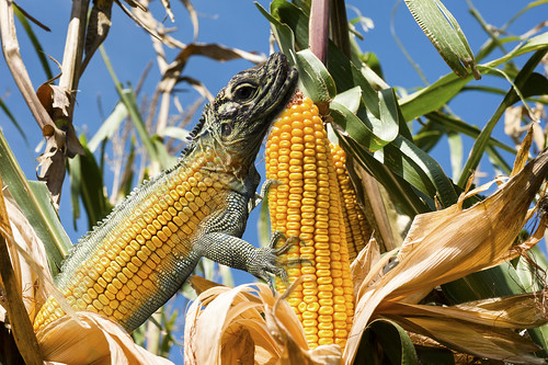 sky food plant green fall industry nature field closeup rural season landscape outdoors gold countryside leaf corn cornfield shiny farm serbia farming grain grow dry nobody scene row farmland growth crop organic agriculture maize cultivated agronomy harvestcountry
