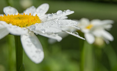 Wet Daisies, Droplets
