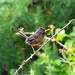 Dartford Warbler Sylvia undata