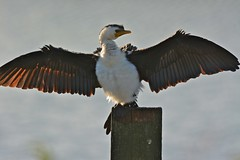 Little Pied Cormorrant