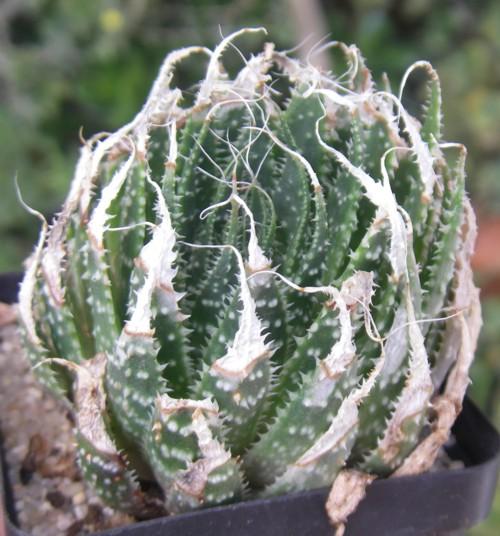Aloe aristata 20190621088_9c310f70f1_o