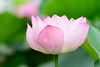 Lotus, Ueno Tokyo by Yasuz