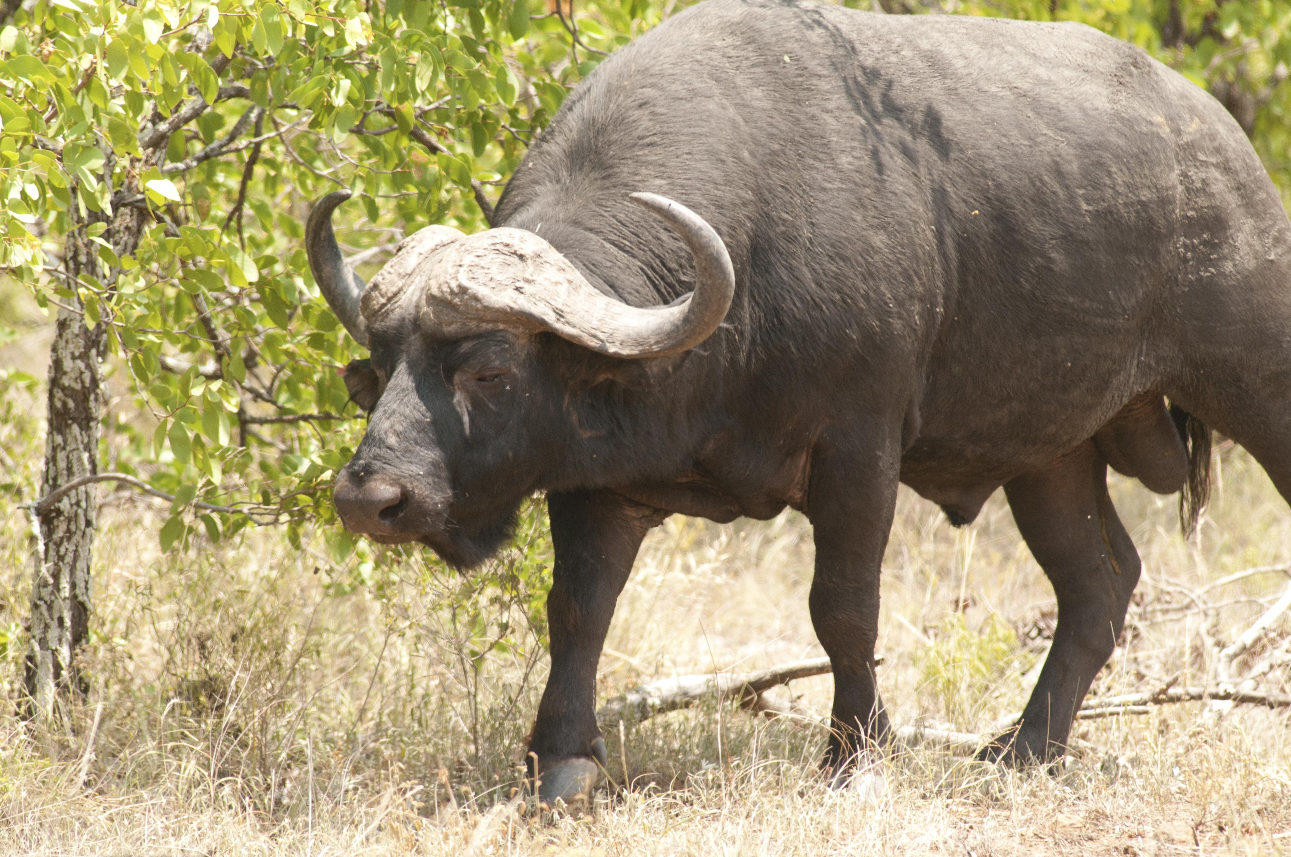 The African Buffalo Or Cape Buffalo Syncerus Caffer -4867