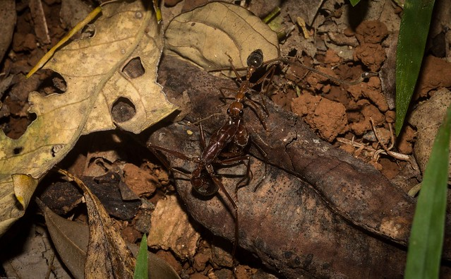 bull ant removal
