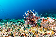 Lurking Lionfish