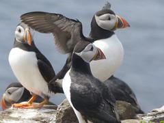 animal, puffin, charadriiformes, fauna, beak, bird, seabird,