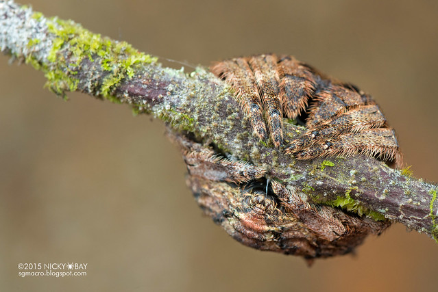 Big-headed bark spider (Caerostris sp.) - DSC_5088