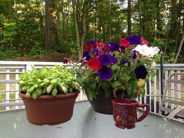 patio petunias