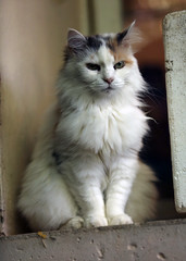 domestic long-haired cat, animal, british semi-longhair, small to medium-sized cats, pet, fauna, ragdoll, cat, carnivoran, whiskers, norwegian forest cat,