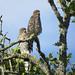 Fledgling Cooper's Hawks by jayperetz