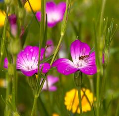 Zweefvlieg in de bloemenweide