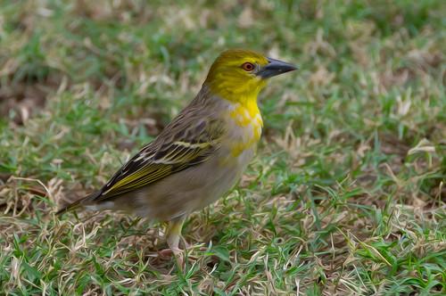 bird birds creature wildlife albion rivièrenoire mauritius mu