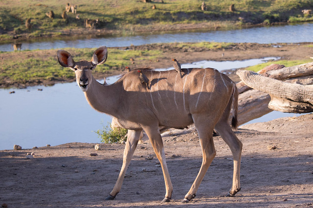 Hello Kudu!