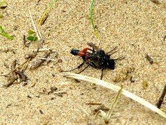 arthropod, animal, ant, invertebrate, membrane-winged insect, fauna, pest, wildlife,