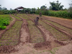 fresh planting, Hsipaw, Shan State