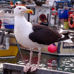 Herring Gull at Newquay Habour