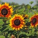 Sunflower Fields Forever by Sara Turner Photography