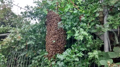 bee swarm July 15 1