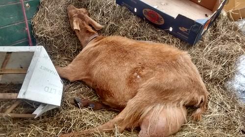 goats July 15 (1)