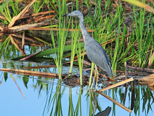 Little Blue Heron sub-adult 20150722