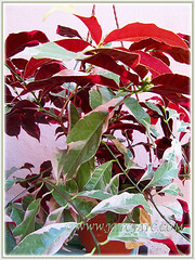 Beautiful variegated foliage of Excoecaria cochinchinensis 'Firestorm'  (Variegated Blindness Tree, Variegated Chinese Croton, Jungle Fire Plant), July 17 2015