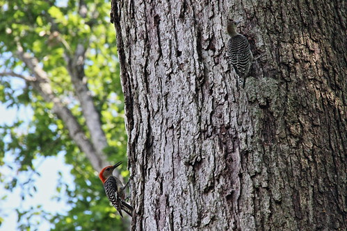 IMG_5796_Male_Red_Bellied_Woodpecker_&_Juvenile
