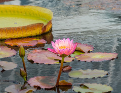 Waterlily, Tropical, Nympnea Afterglow