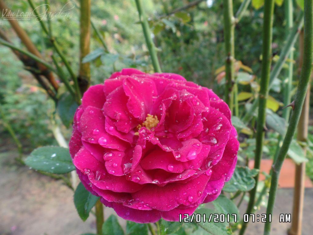 hoa hong ngoai the prince rose tai lang hoa sa dec (7)-vuonhongvanloan.com