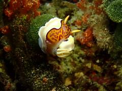 ゴニオブランクス・グレニーイ Goniobranchus gleniei