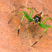 Jumping Spider - Epeus sp. male by Tom's Macro and Nature Photographs