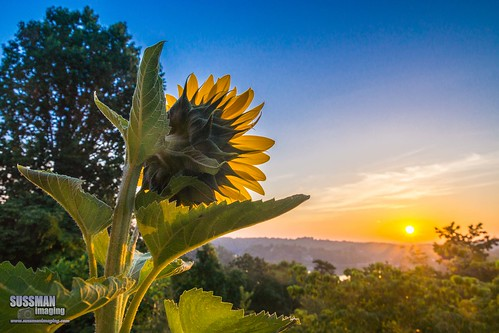 sky sun flower nature sunrise georgia unitedstates gainesville sunflower lakelanier hallcounty thesussman sonyslta77 sussmanimaging