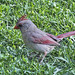 Evening Female Cardinal 20150701 by Woody Woodsman