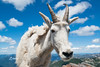 Mountain Goat Close Encounter