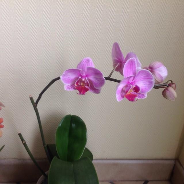 Floraison des orchidées de juin à........... 19613910119_37142730a8_z