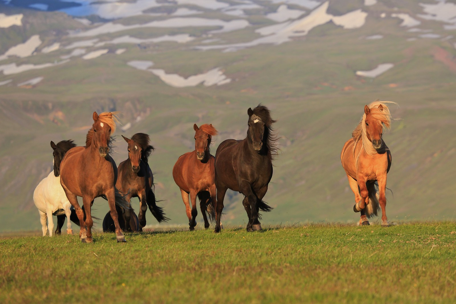 Icelandic horses on the run (Explored)