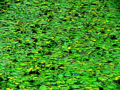 Flower Carpet on the Water