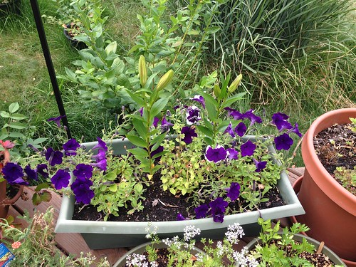Petunias and stargazer lilies almost blooming