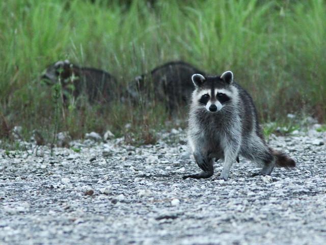 Mother Raccoon 20150805